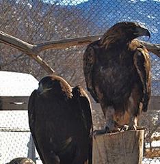 eagleswed
