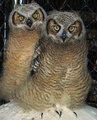 owlswed