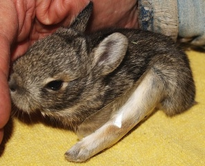 rabbitleg