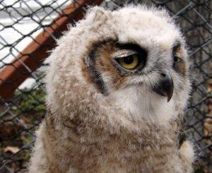Lit Owl Older