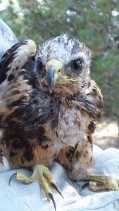 full young hawk